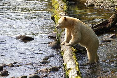 Kermode Bear (Ursus americanus kermodei), white morph called spirit bear, male in river, Great Bear Rainforest, British Columbia, Canada  -  Matthias Breiter