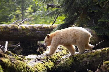 Kermode Bear (Ursus americanus kermodei), white morph called spirit bear, male, Great Bear Rainforest, British Columbia, Canada  -  Matthias Breiter