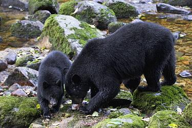 Black Bear (Ursus americanus) female and cub feeding on Pink Salmon (Oncorhynchus gorbuscha), Great Bear Rainforest, British Columbia, Canada  -  Matthias Breiter