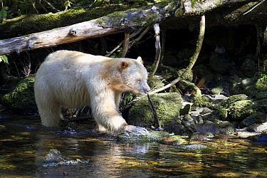 Kermode Bear (Ursus americanus kermodei), white morph called spirit bear, male fishing for Pink Salmon (Oncorhynchus gorbuscha) (Oncorhynchus gorbuscha), Great Bear Rainforest, British Columbia, Canad...  -  Matthias Breiter