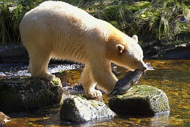 Kermode Bear (Ursus americanus kermodei), white morph called spirit bear, male feeding Pink Salmon (Oncorhynchus gorbuscha), Great Bear Rainforest, British Columbia, Canada  -  Matthias Breiter