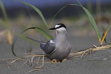 Aleutian Tern (Onychoprion aleuticus) on ground nest with single egg, Yakutat, Alaska  -  Matthias Breiter