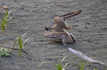 Semipalmated Plover (Charadrius semipalmatus) using broken-wing display to lure intruders away from the nest, Yakutat, Alaska  -  Matthias Breiter