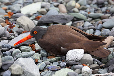 Black Oystercatcher (Haematopus bachmani) using broken-wing display to lure intruders away from the nest, Icy Bay, Wrangell-St. Elias National Park, Alaska  -  Matthias Breiter