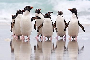 Rockhopper Penguin (Eudyptes chrysocome) group coming ashore, Falkland Islands  -  Heike Odermatt