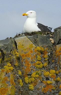 Kelp Gull (Larus dominicanus) on nest, Half Moon Island, South Shetland Islands, Antarctica  -  Kevin Schafer