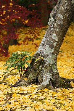 Ginkgo (Ginkgo biloba) tree trunk with Coral Ardisia (Ardisia crenata) bush, Kyoto, Japan  -  Hiroya Minakuchi