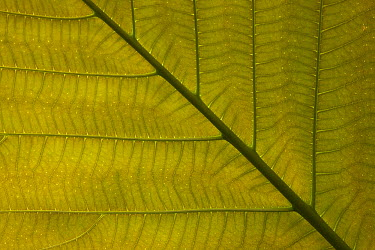 Fig (Ficus dammaropsis) leaf, native to New Guinea  -  ZSSD