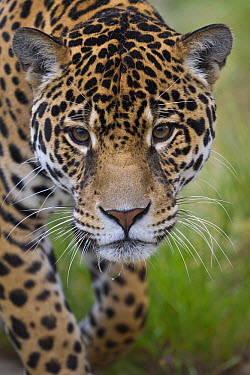 Jaguar (Panthera onca) male, native to Central and South America  -  ZSSD