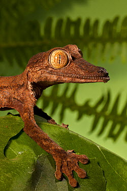 Common Flat-tail Gecko (Uroplatus fimbriatus), native to Africa  -  ZSSD