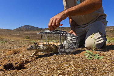 California Ground Squirrel (Spermophilus beecheyi) being released as part of relocation project to build nest burrows for burrowing owls, California  -  ZSSD