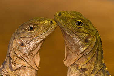 Grand Cayman Rock Iguana (Cyclura lewisi) pair, native to Cayman Islands  -  ZSSD