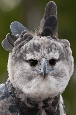 Harpy Eagle (Harpia harpyja) displaying by spreading head feathers, native to Central and South America  -  ZSSD