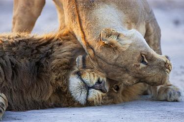 African Lion (Panthera leo) pair courting, Moremi Game Reserve, Okavango Delta, Botswana  -  Theo Allofs