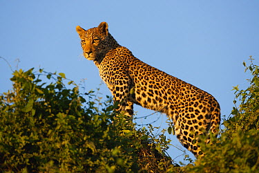 Leopard (Panthera pardus) in tree on lookout, Moremi Game Reserve, Okavango Delta, Botswana  -  Theo Allofs