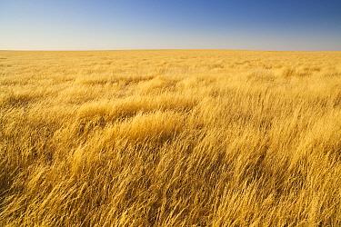 High grass on savanna after heavy rains during rainy season, Namib-Naukluft National Park, Namib Desert, Namibia  -  Theo Allofs