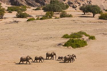 African Elephant (Loxodonta africana) herd walking in dry river bed, Skeleton Coast, Namib Desert, Namibia  -  Theo Allofs
