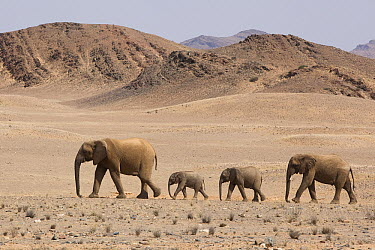 African Elephant (Loxodonta africana) female and calves crossing desert, Skeleton Coast, Namib Desert, Namibia  -  Theo Allofs