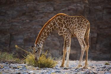 Angolan Giraffe (Giraffa giraffa angolensis) grazing, Skeleton Coast, Namib Desert, Namibia  -  Theo Allofs