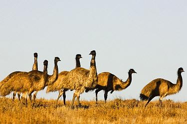 Emu (Dromaius novaehollandiae) group, Sturt National Park, New South Wales, Australia  -  Theo Allofs