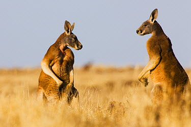 Red Kangaroo (Macropus rufus) males facing each other before fight over female, Sturt National Park, New South Wales, Australia  -  Theo Allofs