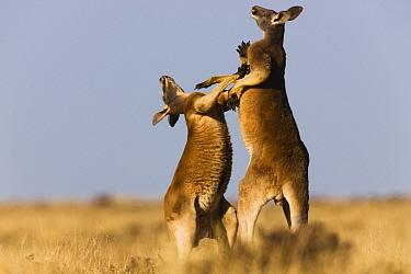 Red Kangaroo (Macropus rufus) males fighting, Sturt National Park, New South Wales, Australia  -  Theo Allofs