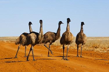 Emu (Dromaius novaehollandiae) group on road, Sturt National Park, New South Wales, Australia  -  Theo Allofs