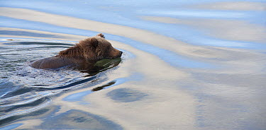 Grizzly Bear (Ursus arctos horribilis) swimming, Katmai National Park, Alaska  -  Matthias Breiter