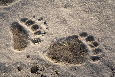 Grizzly Bear (Ursus arctos horribilis) front and back paw prints, Katmai National Park, Alaska  -  Matthias Breiter