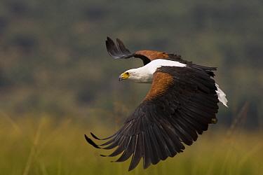 African Fish Eagle (Haliaeetus vocifer) flying, Linyanti River, Botswana  -  Matthias Breiter