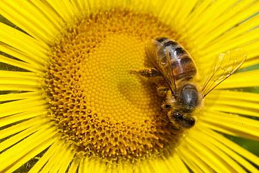 Bee (Apidae) on Alpine Sunflower (Rydbergia grandiflora), British Columbia, Canada  -  Matthias Breiter