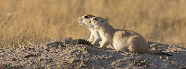Prairie Dog (Cynomys sp) pair, Grasslands National Park, Saskatchewan, Canada  -  Matthias Breiter