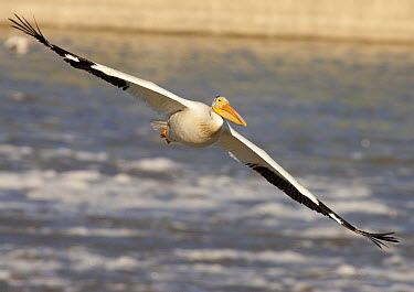 American White Pelican (Pelecanus erythrorhynchos) flying, Lockport, Manitoba, Canada  -  Matthias Breiter