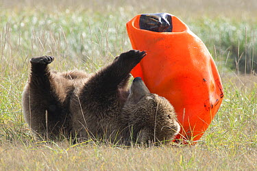 Grizzly Bear (Ursus arctos horribilis) yearling cub playing with an orange rubber buoy, Katmai National Park, Alaska  -  Matthias Breiter