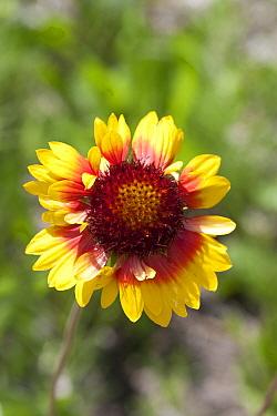 Annual Coreopsis (Coreopsis tinctoria) flower, Spruce Woods Provincial Park, Manitoba, Canada  -  Matthias Breiter