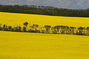 Brassica (Brassica sp) fields, Alberta, Canada  -  Matthias Breiter