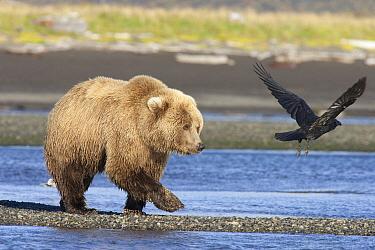 Grizzly Bear (Ursus arctos horribilis) walking along water and scaring away Common Raven (Corvus corax), Katmai National Park, Alaska  -  Matthias Breiter