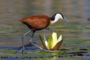 African Jacana (Actophilornis africanus) walking on water lily pads showing distinctive large feet, Okavango Delta, Botswana  -  Matthias Breiter