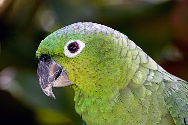 Mealy Parrot (Amazona farinosa), Costa Rica  -  Michael & Patricia Fogden