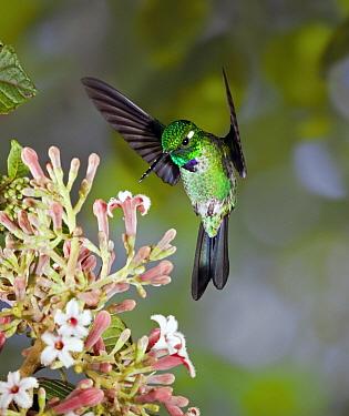 Purple-bibbed Whitetip (Urosticte benjamini) hummingbird male feeding on nectar of Cinchona (Cinchona sp) flower in cloud forest, Tandayapa Valley, western slope of Andes, Ecuador  -  Michael & Patricia Fogden
