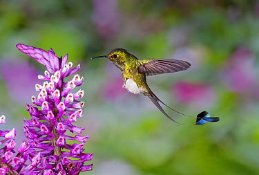 Booted Racket-tail (Ocreatus underwoodii) hummingbird male feeding on nectar of Tiger Orchid (Elleanthus robustus) flower in cloud forest, Tandayapa Valley, western slope of Andes, Ecuador  -  Michael & Patricia Fogden