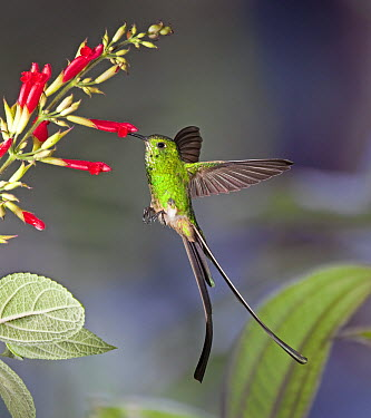 Green-tailed Trainbearer (Lesbia nuna) hummingbird male feeding on nectar of Sage (Salvia sp) flower in temperate forest, Ecuador  -  Michael & Patricia Fogden