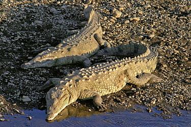 American Crocodile (Crocodylus acutus) pair basking, Tarcoles River, Costa Rica  -  Michael & Patricia Fogden