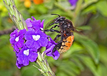 Bee (Eulaema sp) feeding on nectar of Porterweed (Stachytarpheta sp) flower in cloud forest, Tandayapa Valley, western slope of Andes, Ecuador  -  Michael & Patricia Fogden