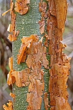 Gumbo Limbo (Bursera simaruba) bark peeling off trunk, Palo Verde National Park, Costa Rica  -  Michael & Patricia Fogden