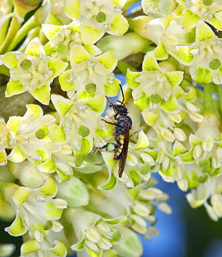 Hollowheart (Acnistus arborescens) flowers being pollinated by Bee (Apidae) in cloud forest, Tandayapa Valley, western slope of Andes, Ecuador  -  Michael & Patricia Fogden