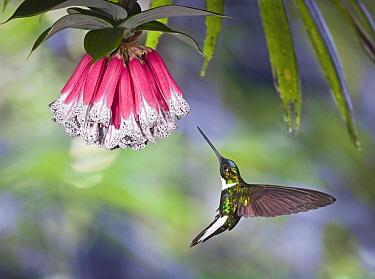 Collared Inca (Coeligena torquata) hummingbird male feeding on nectar of Bomarea (Bomarea pardina) flower in cloud forest, Tandayapa Valley, western slope of Andes, Ecuador  -  Michael & Patricia Fogden