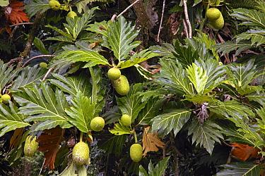 Breadfruit (Artocarpus altilis) fruit, native to southeast Asia  -  Michael & Patricia Fogden