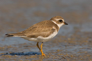 Piping Plover (Charadrius melodus), Fort Desoto Park, Florida  -  Steve Gettle