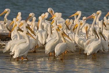 American White Pelican (Pelecanus erythrorhynchos) flock, Gasparilla Sound, Florida  -  Steve Gettle